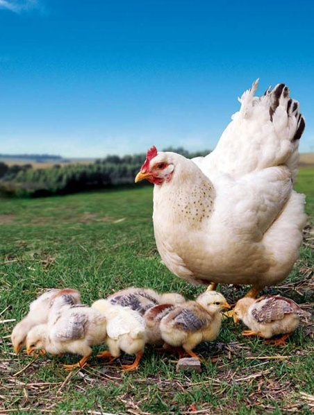 Mama hen and baby chicks