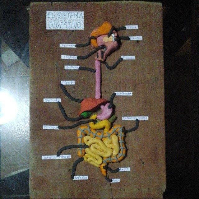 El sistema digestivo en plastilina. | ccnn | Pinterest