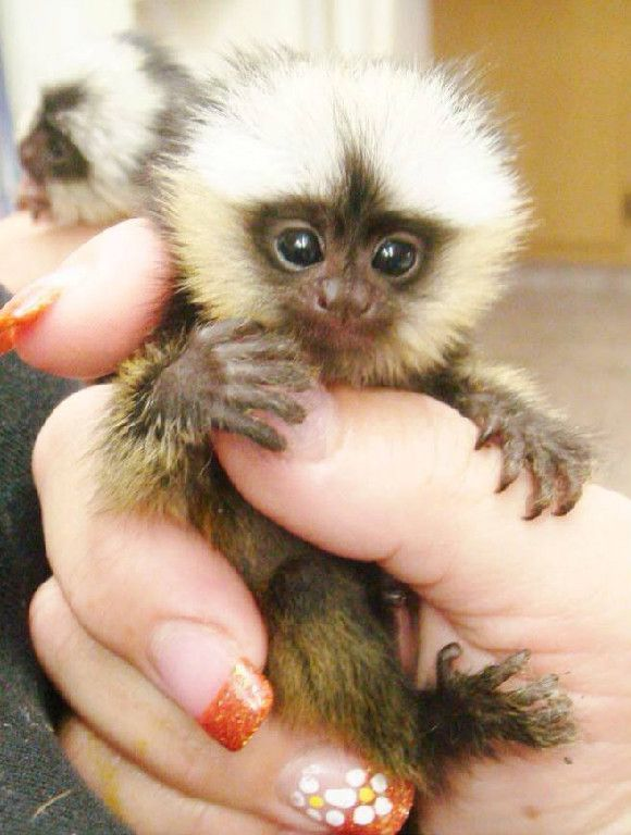 baby marmoset monkeys for sale | Baby Animals. | Pinterest