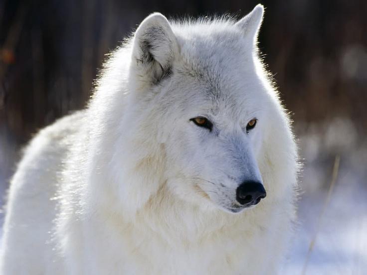 White wolf shepherd - photo#5
