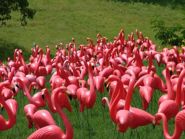 Field of fake flamingos.