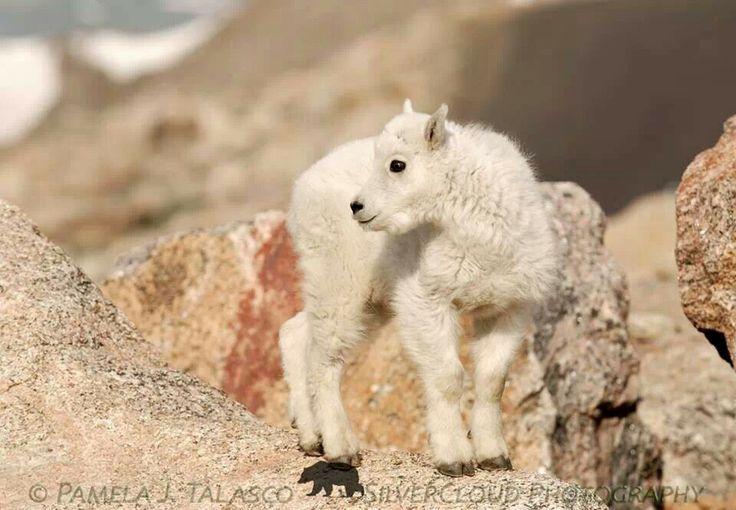 Baby mountain goat    Baby Mountain Goat