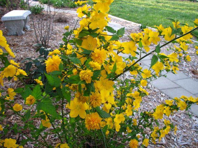 kerria japonica 39 pleniflora 39 dreams plans flowers pinterest. Black Bedroom Furniture Sets. Home Design Ideas