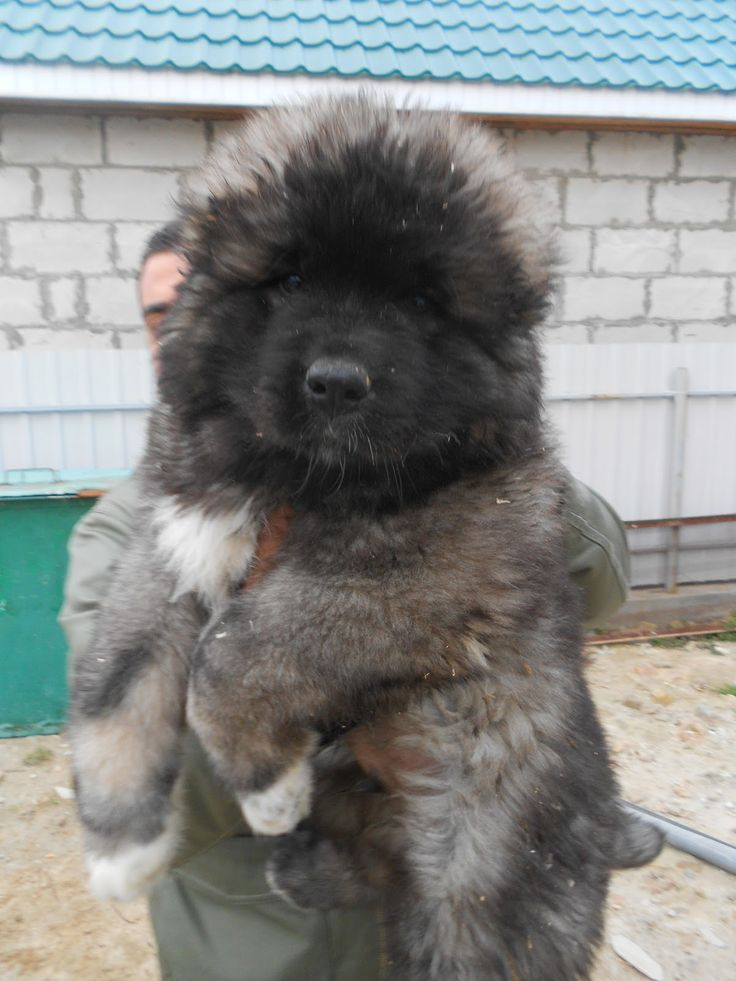 Caucasian mountain dog russian prison