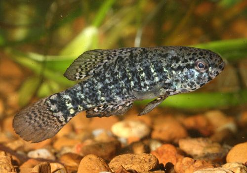 Pygmy Sunfish : Banded Pygmy Sunfish (Elassoma zonatum). Kentucky Fish & Lampreys ...