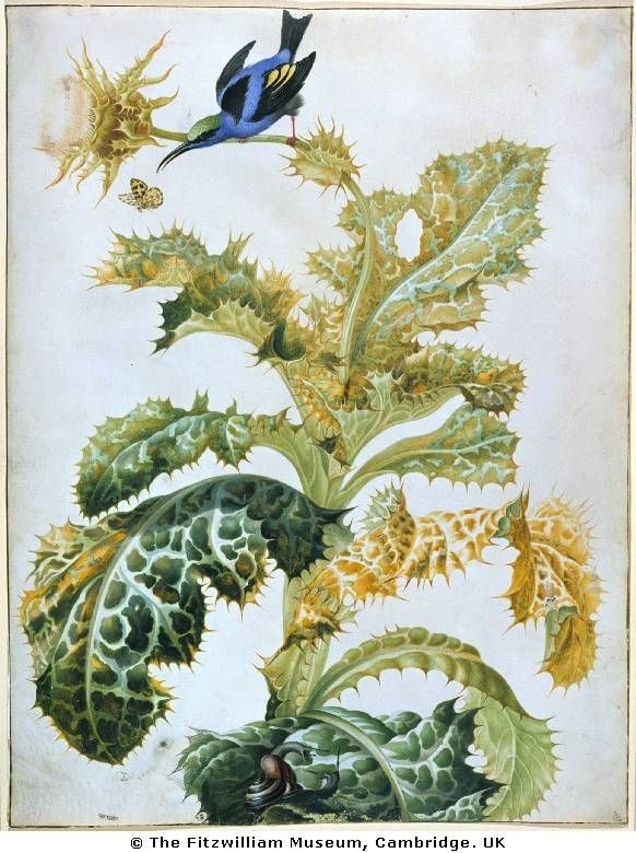 Maria Sibylla Mer­ian. A blue honey creeper on a this­tle, snails below