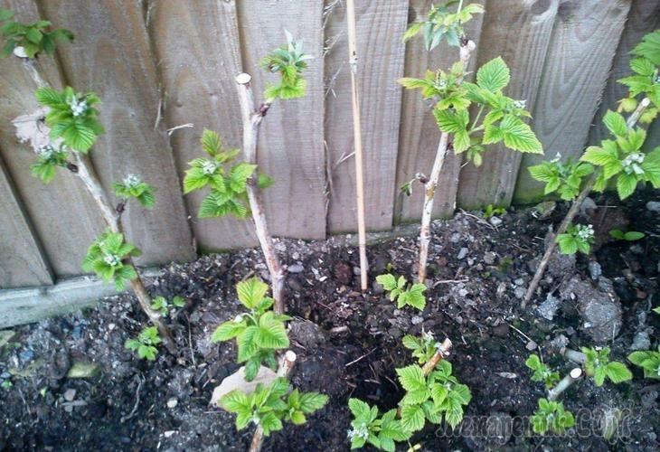 Выращивание штамбовой смородины 44
