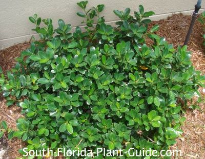 Green island ficus plants for south florida pinterest for Low maintenance green plants