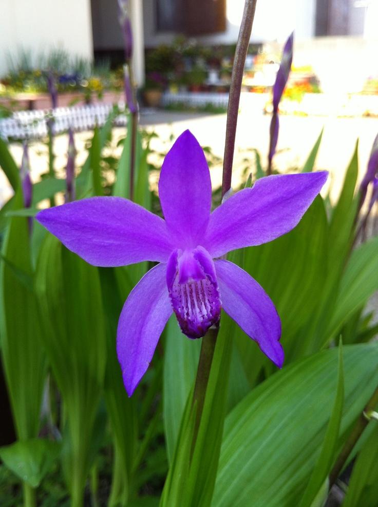 シラン (植物)の画像 p1_34