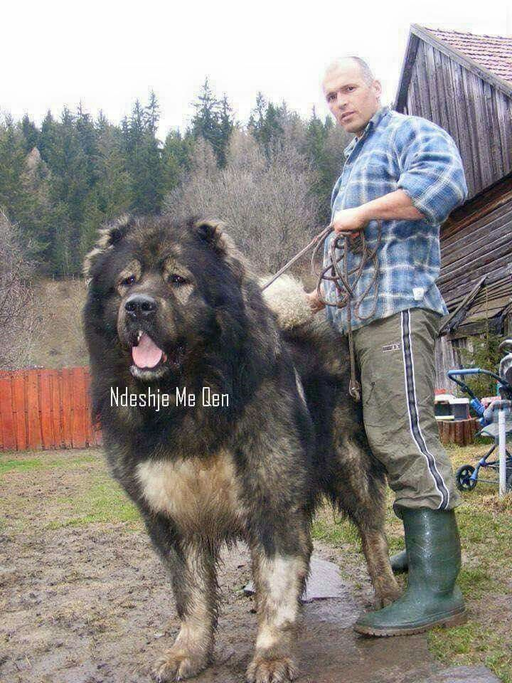 Crystal Livestock Company  Guardian Dog Breeders