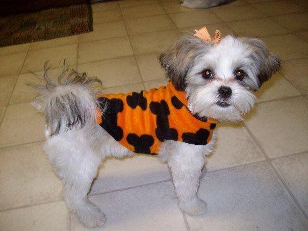 maltipoo haircuts  Google Search  Princess Pup  Pinterest