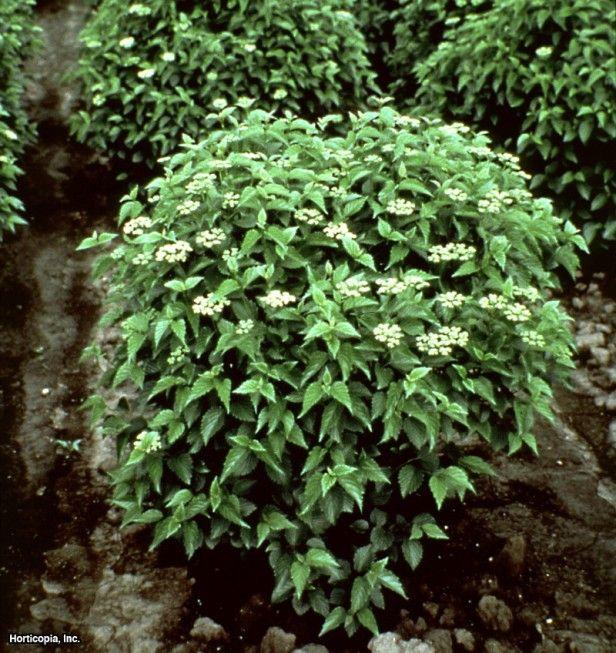 Arrowwood Viburnum (Viburnum dentatum 'Ralph Senior (Autumn Jazz®)')