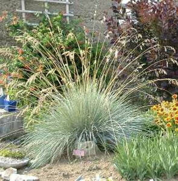 Blue oat grass sammamish residence 1 pinterest for Blue ornamental grass varieties