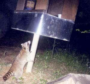 raccoon proofing