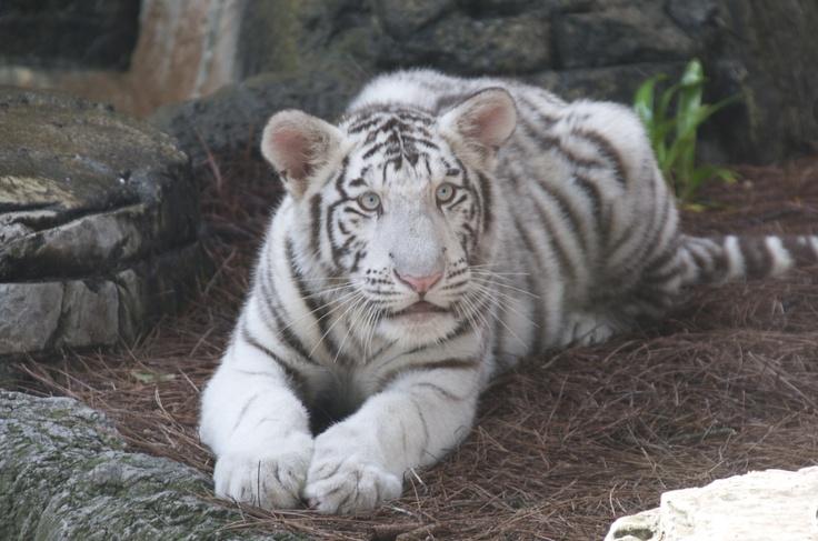 rare white tiger cubs MEMES