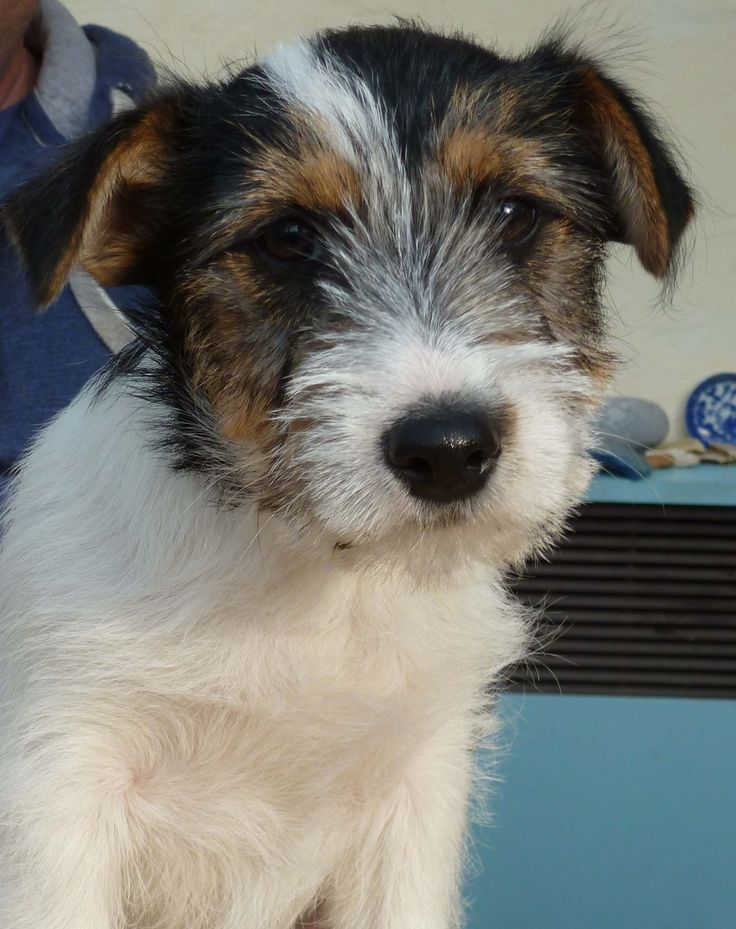 Django. Our wire haired Jack Russell. | aNiMaLs | Pinterest