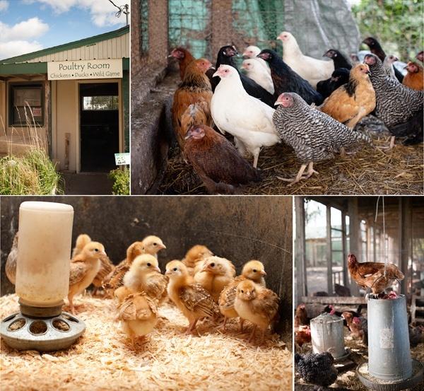 Urban Backyard Chickens : raising urban chickens  I love chickens  Pinterest