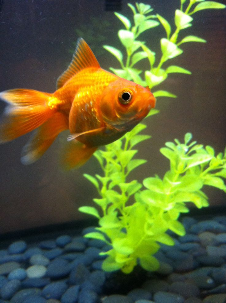 Mango fantail petsmart fish pinterest for How much are fish at petsmart