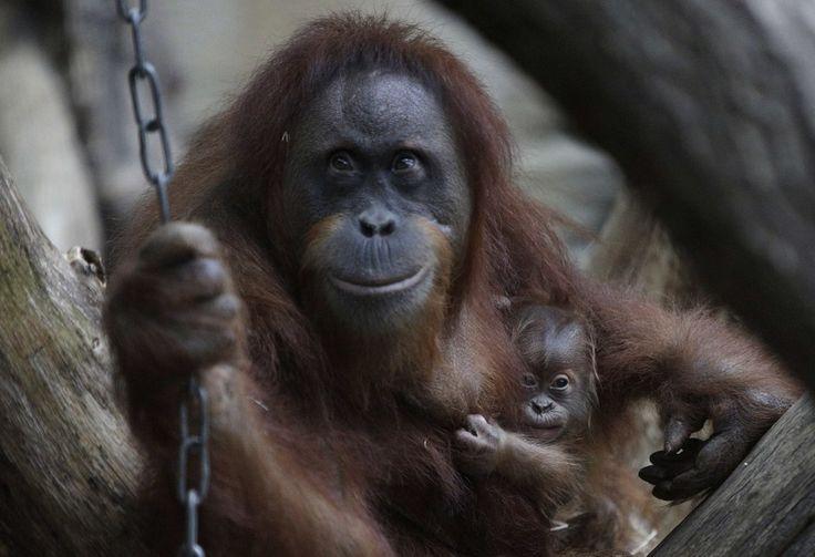 Baby Orangutan Smile