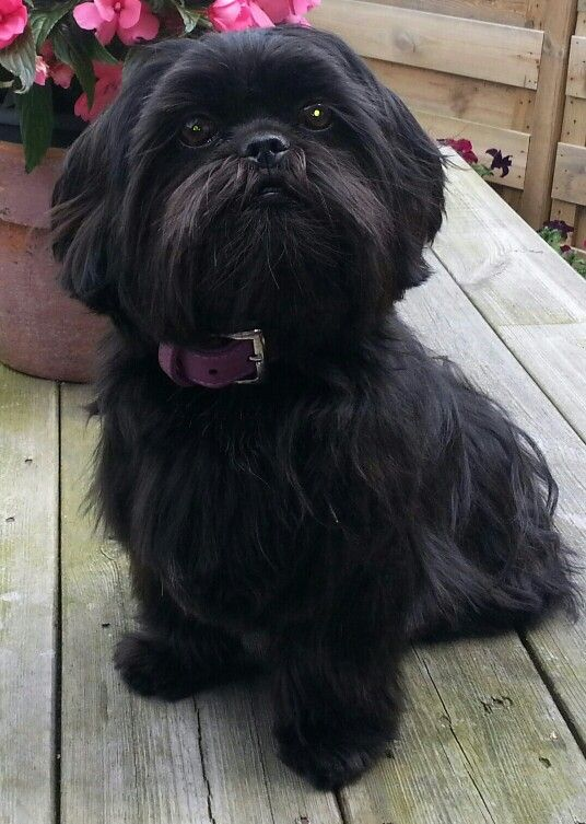 Black shih tzu haircuts