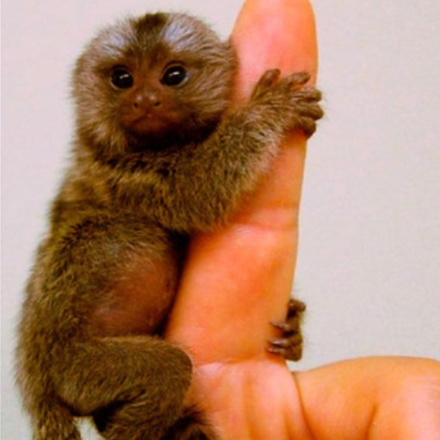 how to train a finger monkey