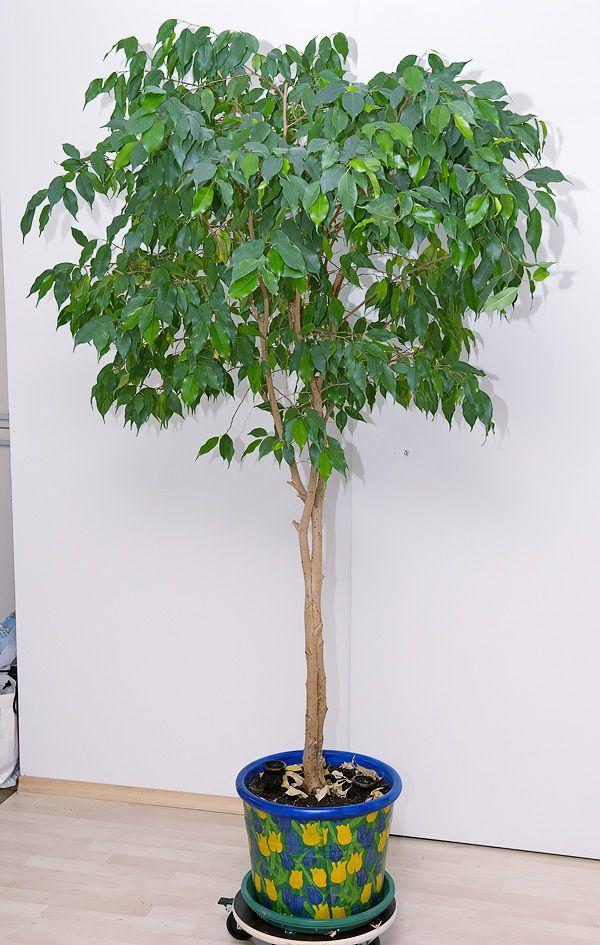 ficus benjamina indoor plants pinterest. Black Bedroom Furniture Sets. Home Design Ideas