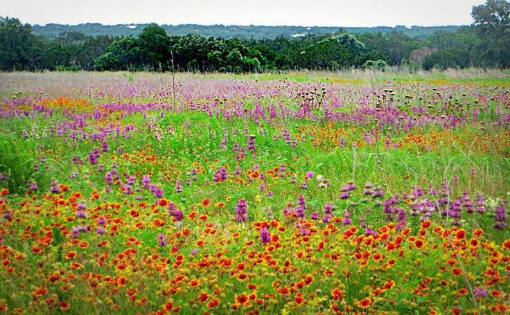 Thảm hoa ở vùng đồi Texas Hill Country, Mỹ