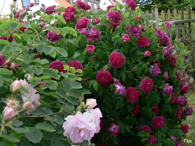 charles de mills 39 gallica rose garden gardening pinterest. Black Bedroom Furniture Sets. Home Design Ideas
