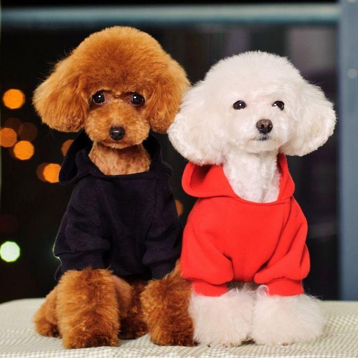 Similiar Toy Poodle Hair Cuts Keywords