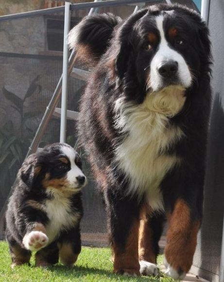 Bernese Mountain Dog | animalsssss | Pinterest