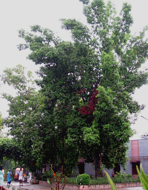 how to grow rudraksha tree