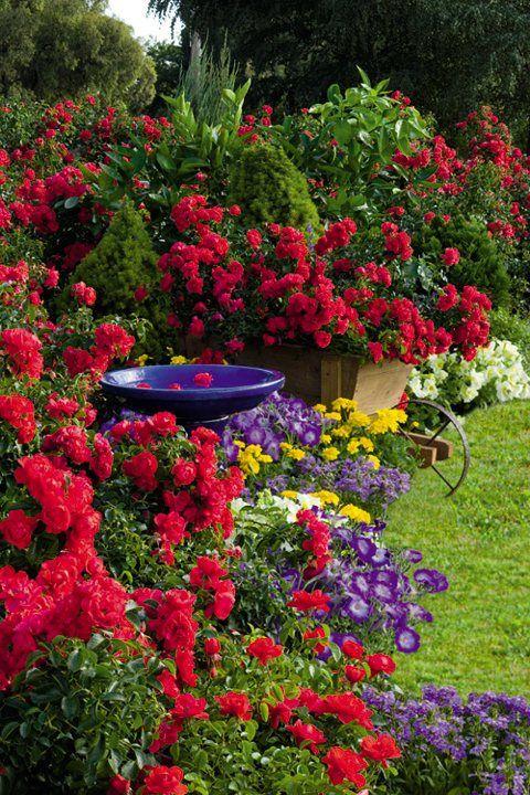 Flower Carpet Scarlet rose in cottage garden
