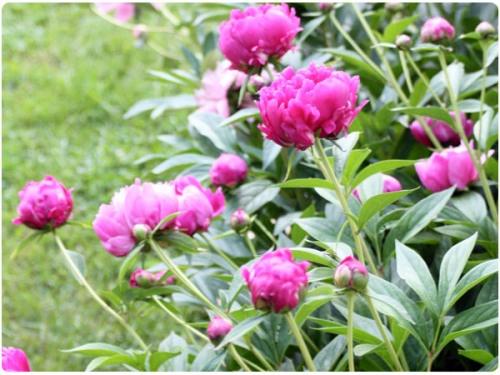 Growing Peonies Garden Dreaming Pinterest