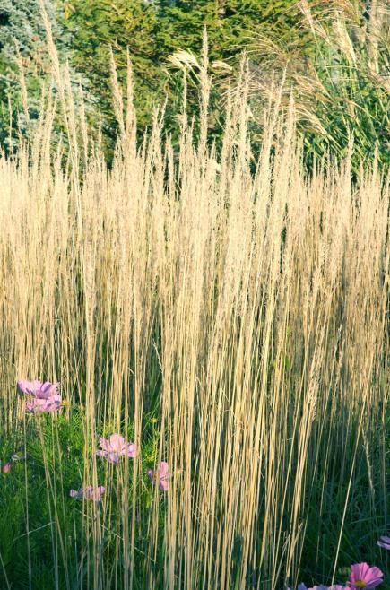 Best ornamental grasses for midwest gardens for Common ornamental grasses