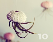 shell/air plant/jelly fish