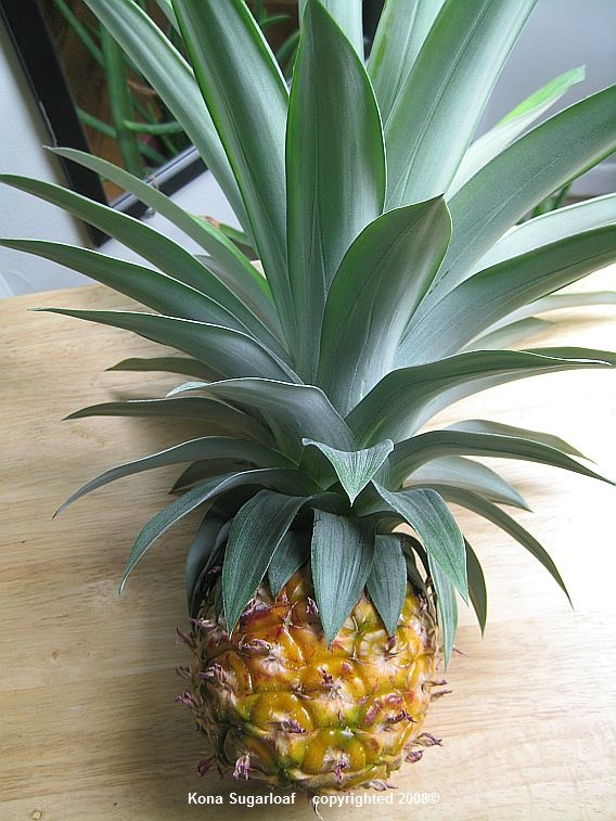 Growing Pineapple Plant Indoors Cool Pinterest