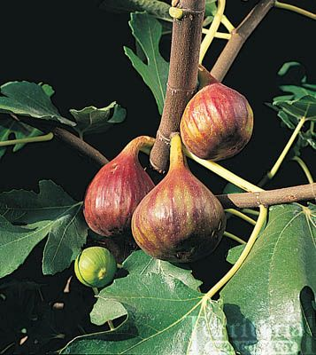 Negronne Fig