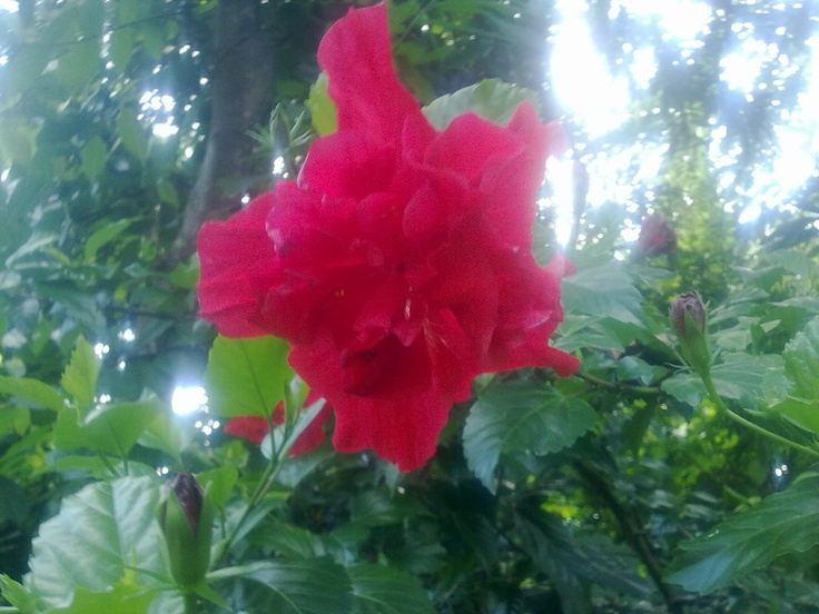 Red Hibiscus rosa-sinensis flowers awesome HD Image view