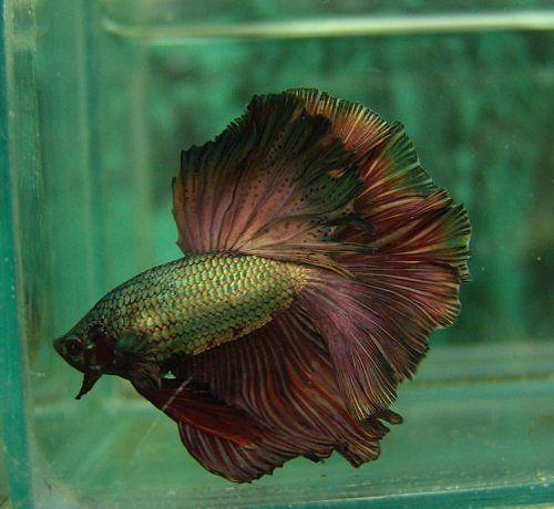 Really like this copper hm betta bettas pinterest for Betta fish friends