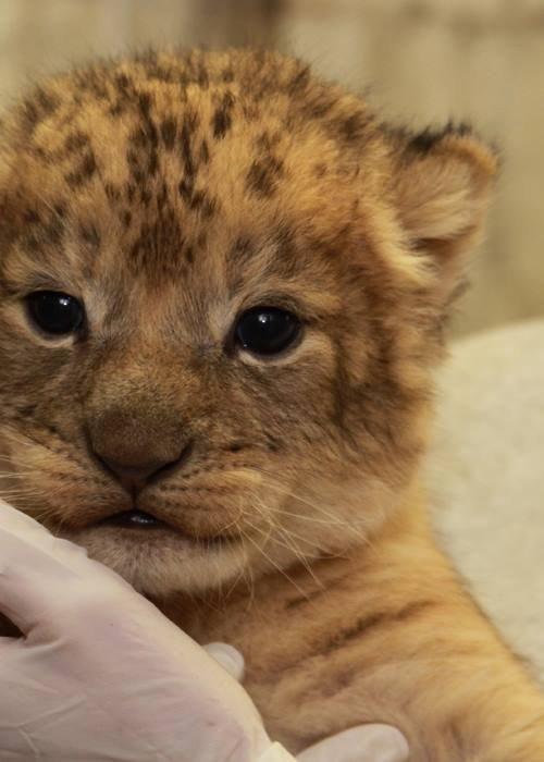National zoo lion cub fuzzy friday pinterest