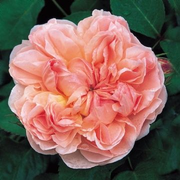 'Evelyn' is a David Austin English Rose