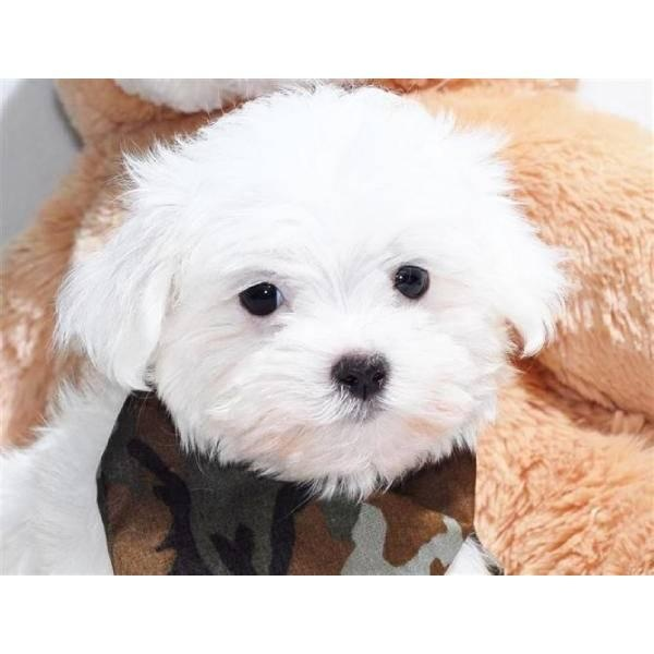 ... cutie! | The Beautiful Maltese Dog - Looks, Haircuts & Styles