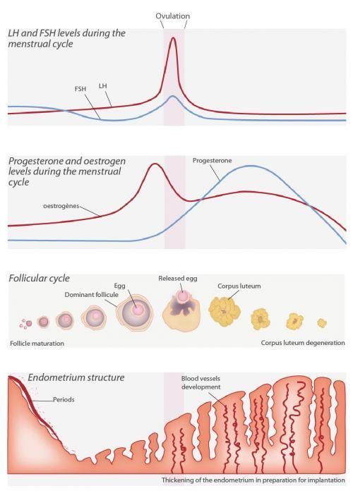Menstrual Cycle and Fertility: Luteal and Follicular ...