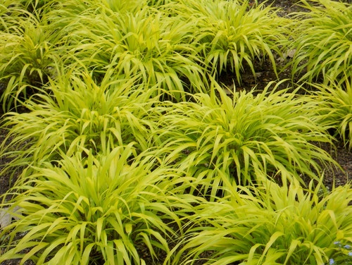 Hakonechloa plants with chartreuse flowers or foliage for Ornamental grass yellow
