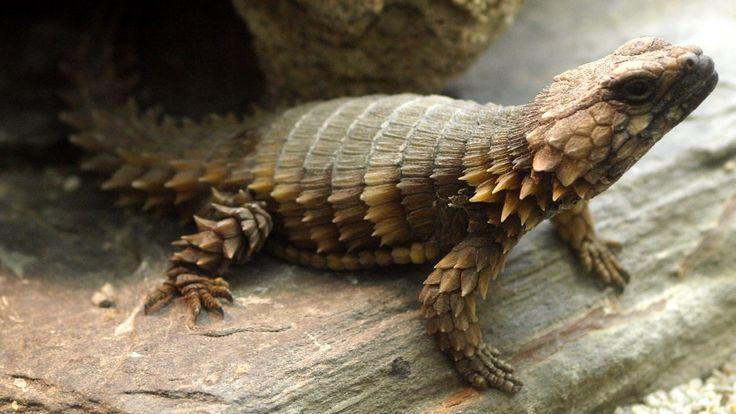 Armadillo lizard wallpaper - photo#7