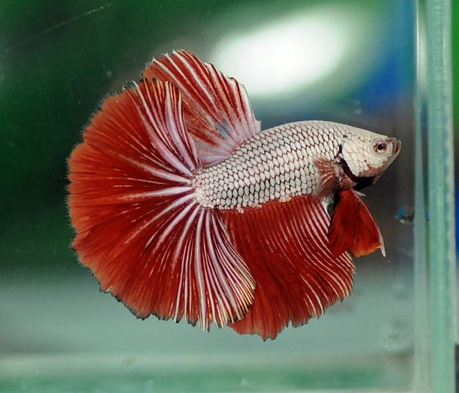 Red dragon betta fish pinterest for Red betta fish