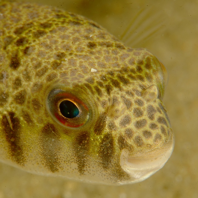 Smooth Toadfish by PacificKlaus, via Flickr