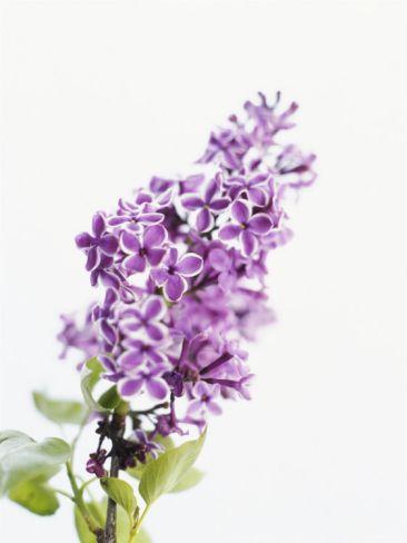 Lilac Beauty Premium Poster at Art.com