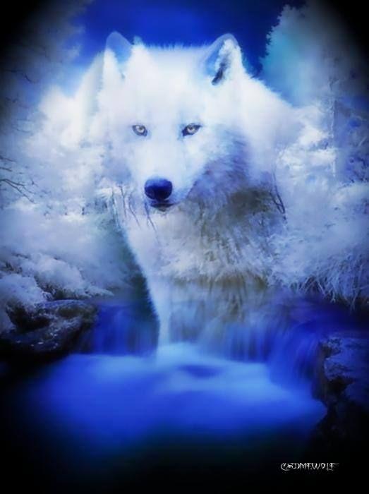 beautiful blue white wolf - photo #20