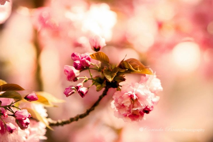 The Cherry Blossoms are blooming!